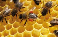 Técnicas nucleares para garantizar la calidad de la miel y productos apícolas