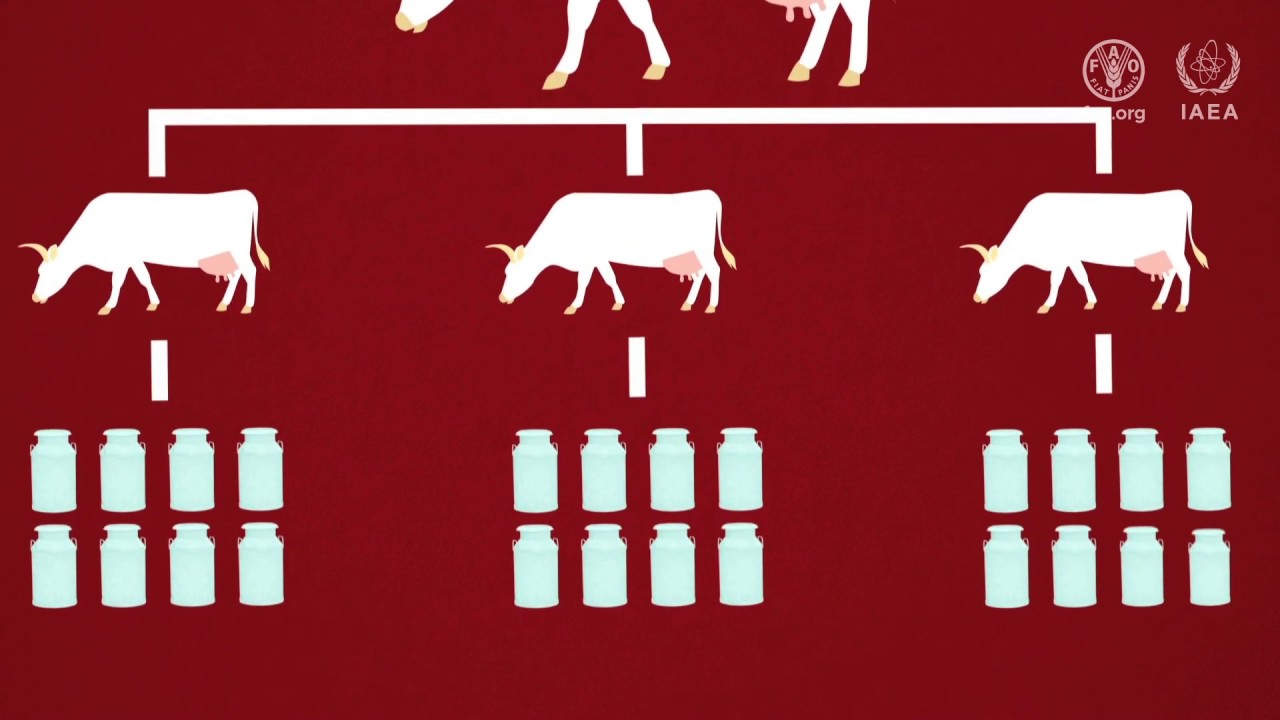 Ciencias nucleares para mejorar la cría de animales